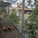 Chickens & espalier fruit trees
