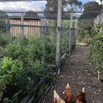 Veggies, chickens & fruit trees
